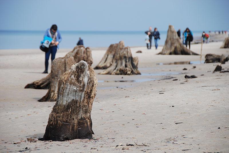 Prehistoryczny las sprzed 3 tysięcy lat na plaży w Rowach